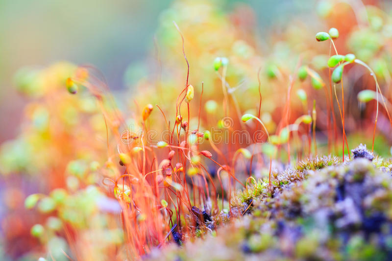 Colorful nature background with macro moss. Colorful nature background with red macro moss spores. Shallow focus stock images