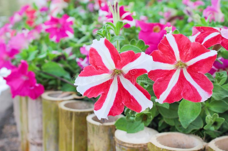 Colorful nature patterns of red or pink petunia flowers with white striped blooming in garden stock photo
