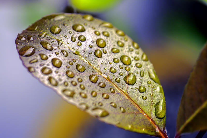 Colorful nature. Raindrops on a waxy leaf. Colorful image of individual rain water droplets resting on the surface of a waxy leaf. A metaphor for Zen philosophy stock photography