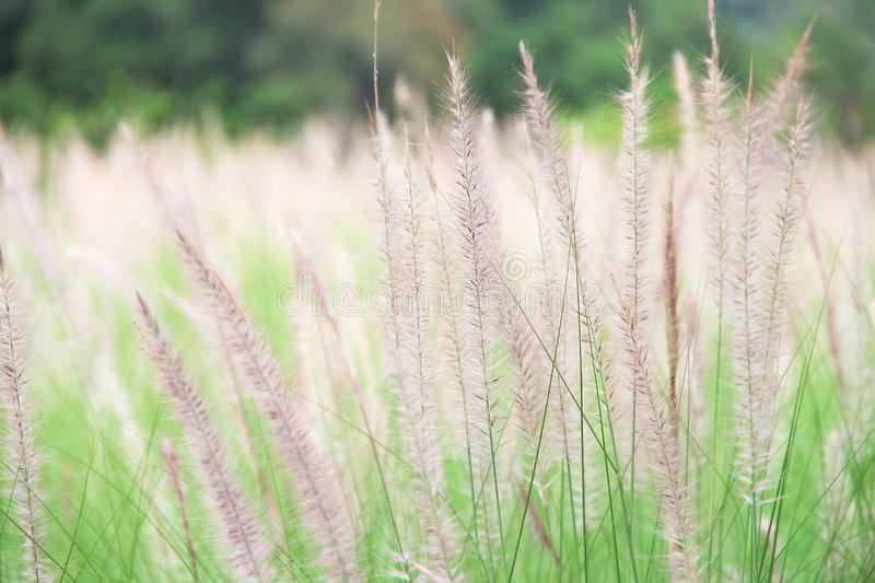 Colorful needle grass flowers in the grass field with light wind stock photography