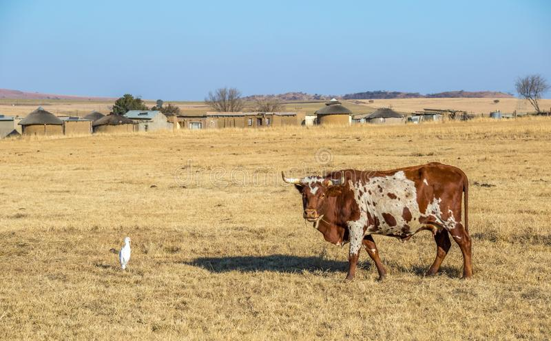 A colorful Nguni cow outside an African village royalty free stock images