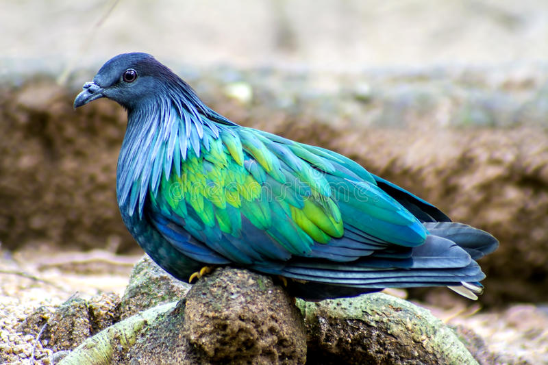 Bird Colorful Nicobar Pigeon (Caloenas nicobarica) in the forest bacground royalty free stock photography