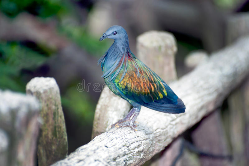 Colorful Nicobar Pigeon strolling down the pavement. royalty free stock image