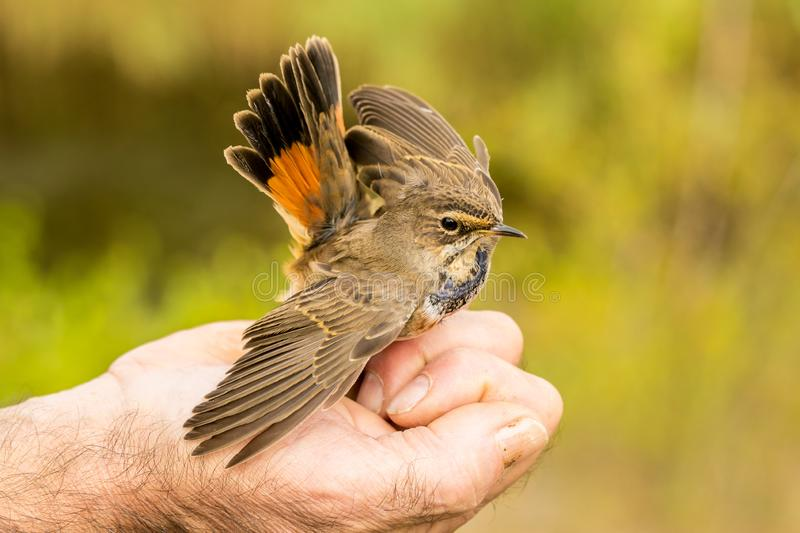 Colorful nightingale bird being held in a hand royalty free stock photo