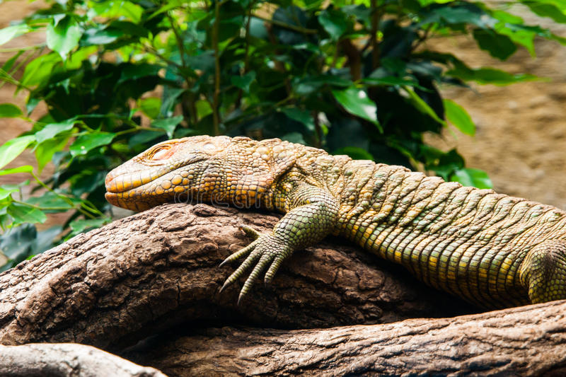 Colorful northern caiman lizard, Dracaena Guianensis, lizard sitting on the tree. Natively found in the jungle of South royalty free stock images