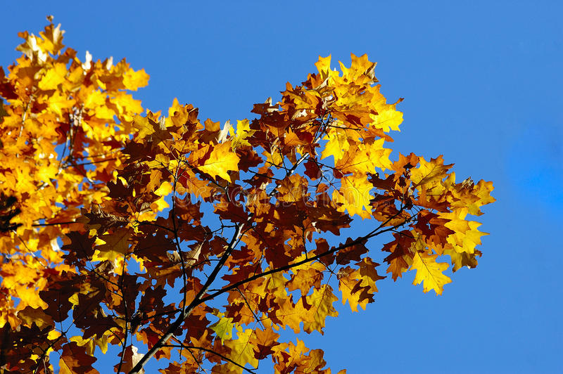 Colorful oak tree royalty free stock photo