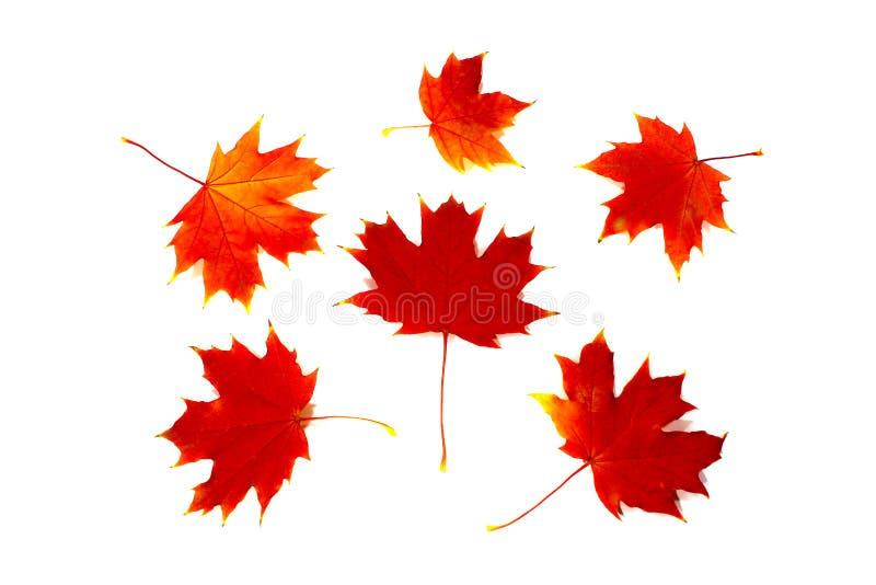 Colorful orange autumn maple leaves royalty free stock photo