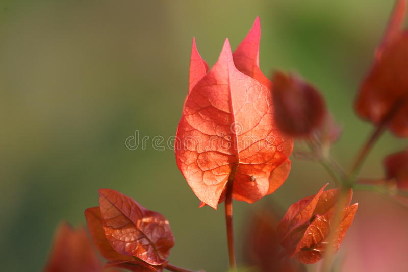 Colorful orange leaf in the early morning royalty free stock photos