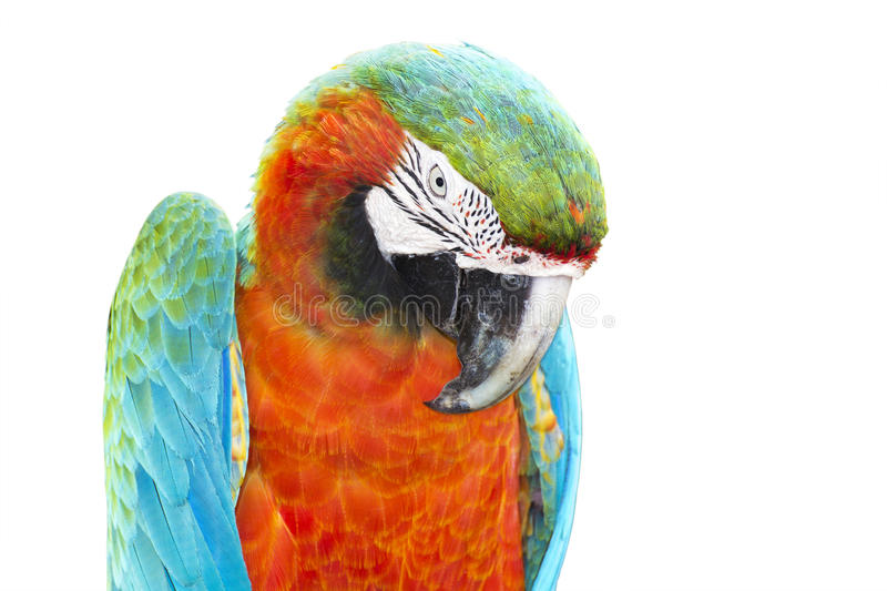 Colorful orange parrot macaw royalty free stock image