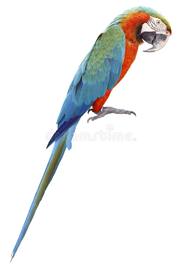 Colorful orange parrot macaw stock photography