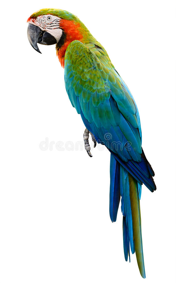 Colorful orange parrot macaw royalty free stock photos