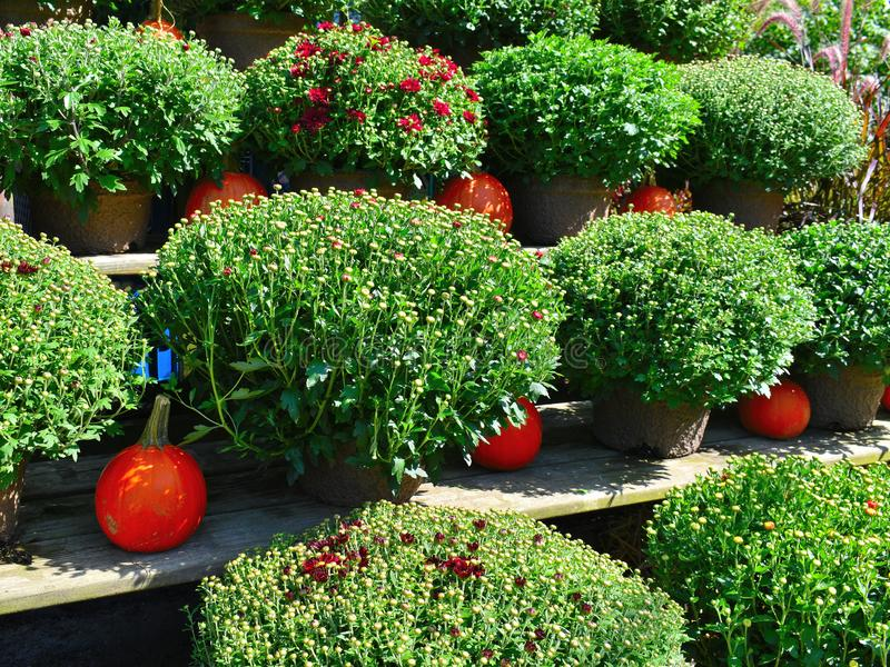 Chrysanthemums and pumpkins at a farm on a Fall day in Groton, Massachusetts, Middlesex County, United States. New England Fall. Colorful orange pumpkins and royalty free stock photos