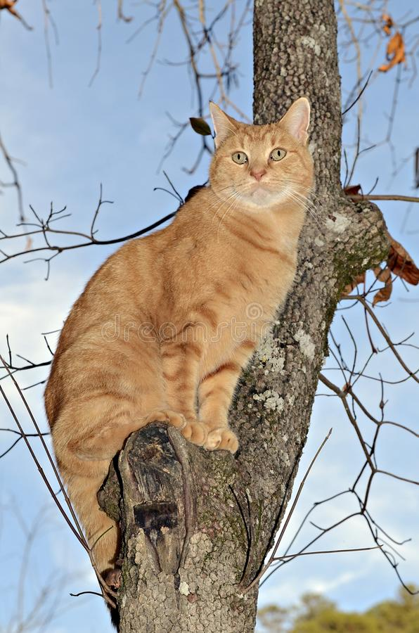 Orange Tabby Cat in a Tree royalty free stock images
