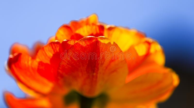 Colorful orange tulip on a spring sunny day with blue sky. Close-up of beautiful yellow tulips growing in the summer garden. royalty free stock photography