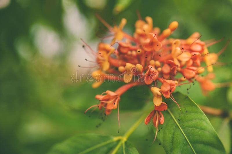 Colorful orange and yellow blooms of Saraca indica. Space for text royalty free stock photo