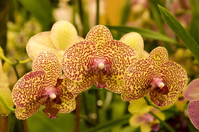 Colorful orchid flowers royalty free stock images