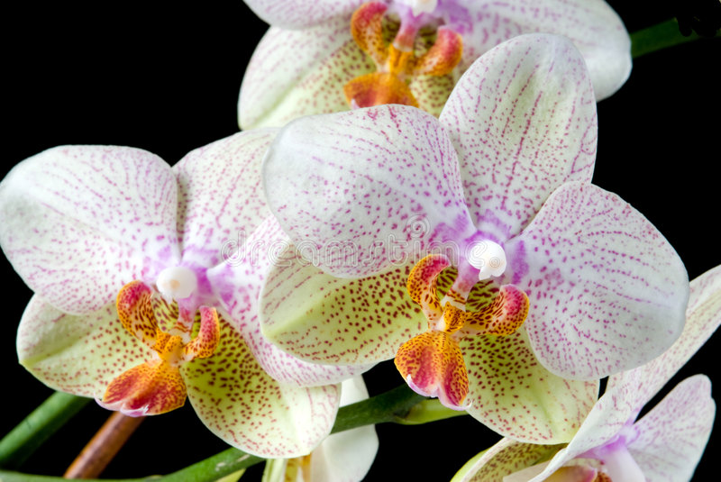 Download Colorful Orchids stock photo. Image of orchid, isolated - 8396246