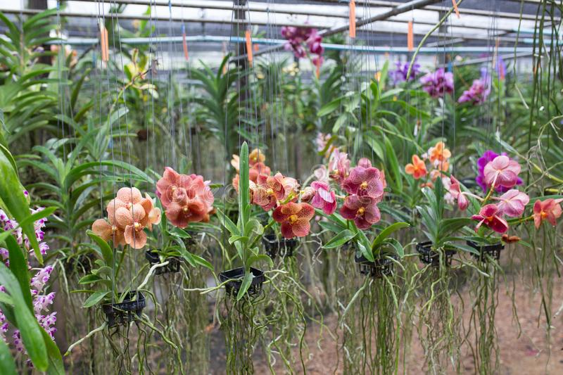 Colorful orchids blooming in basket at orchid farm, Thailand royalty free stock photo