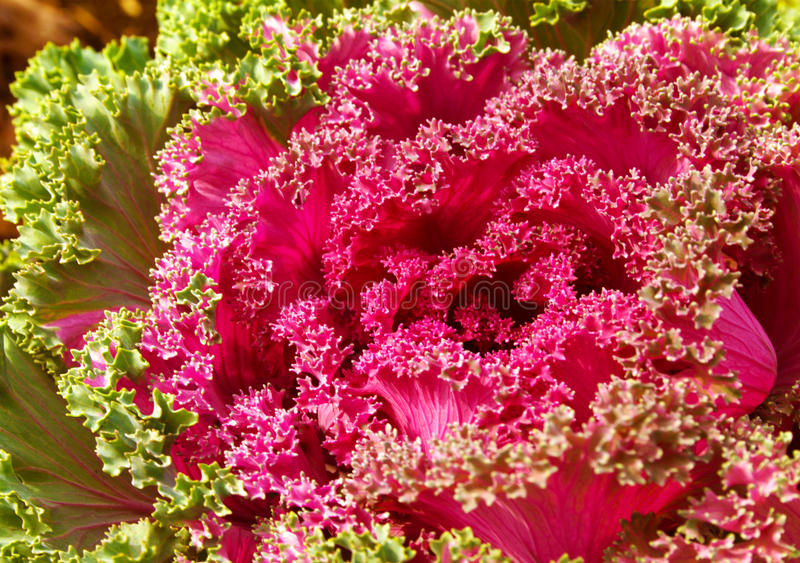 Colorful ornamental Kale or cabbage. stock photo