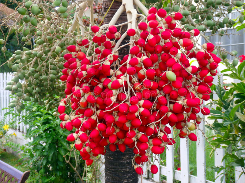 Colorful palm nuts on bequia. A palm tree in the caribbean laden with red and green nuts royalty free stock photography