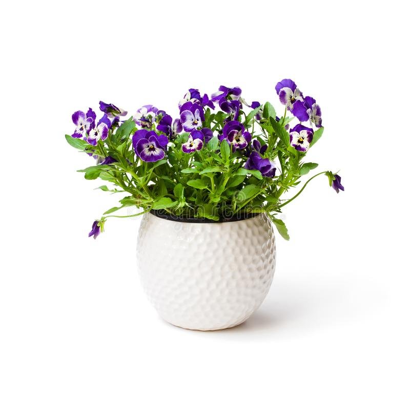 Colorful pansy flower plant in white pot isolated stock photo
