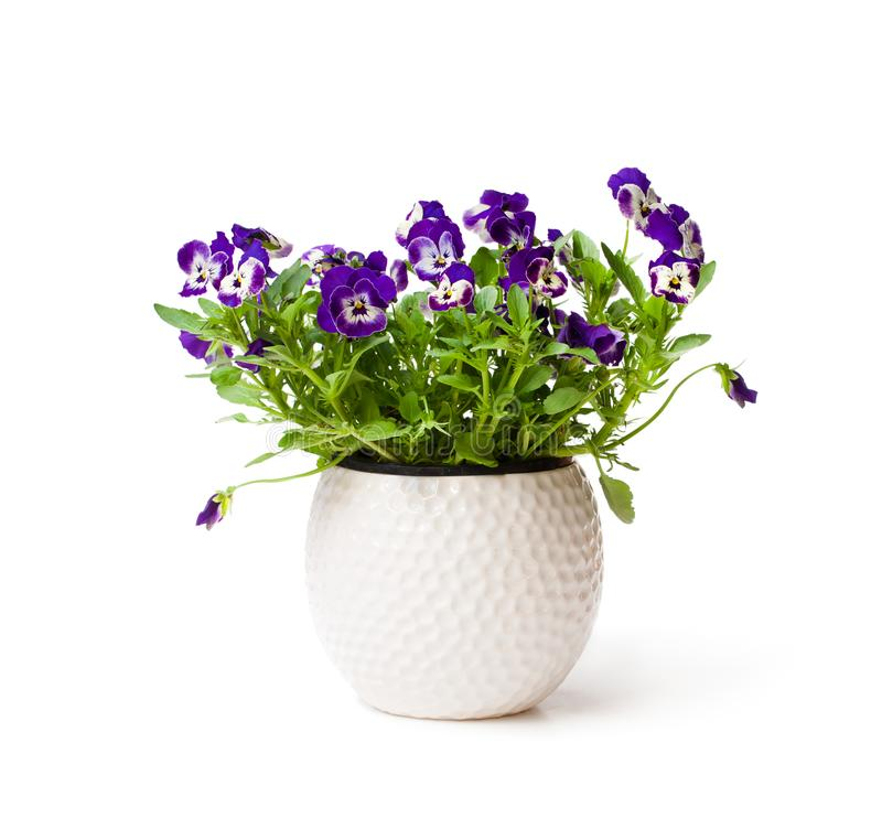 Colorful pansy flower plant in white pot isolated stock images