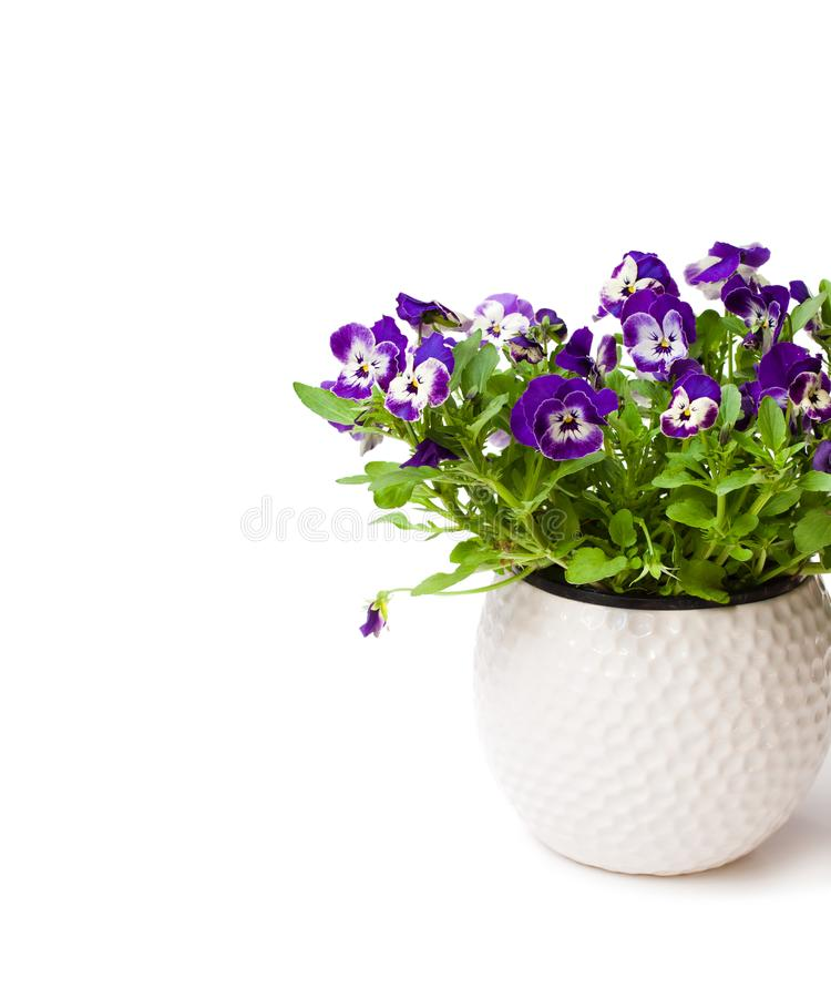 Colorful pansy flower plant in white pot isolated stock photography