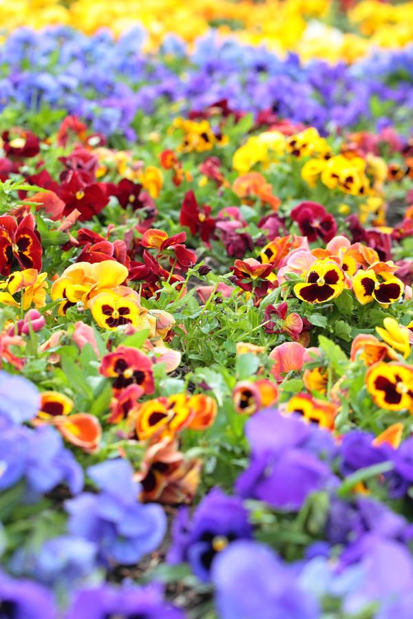 Colorful Pansy Flowers on Flower Bed. As background stock photography