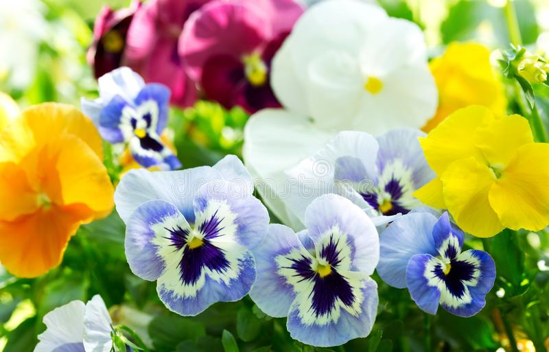 Colorful pansy flowers in a garden royalty free stock image