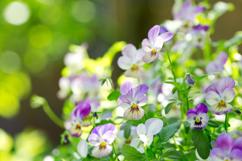 Pansy flowers in a garden royalty free stock images