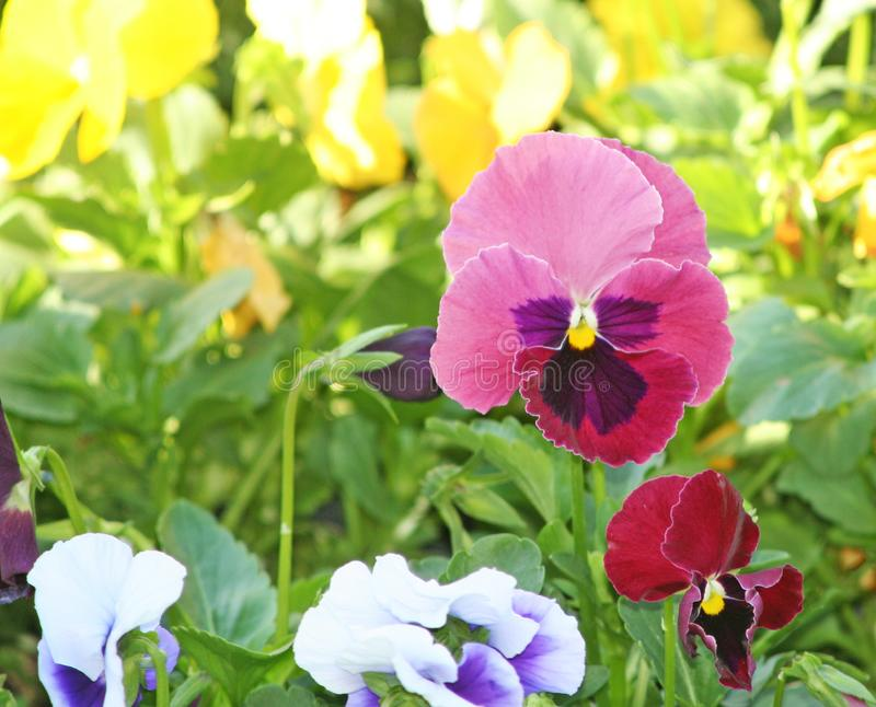 Colorful pansy viola flowers. Close up Colorful pansy viola flowers stock image