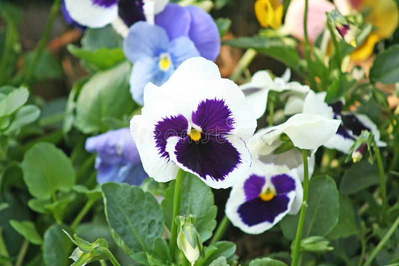 Colorful pansy viola flowers. Close up Colorful pansy viola flowers stock images