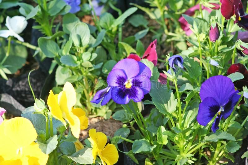 Colorful pansy viola flowers. Close up Colorful pansy viola flowers royalty free stock photo