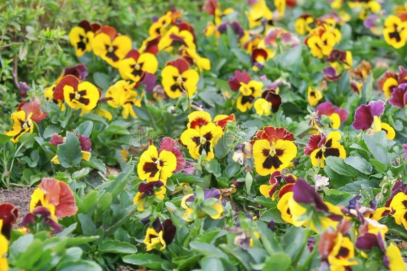 Colorful pansy viola flowers blooming in garden. Close up Colorful pansy viola flowers blooming in garden royalty free stock photography