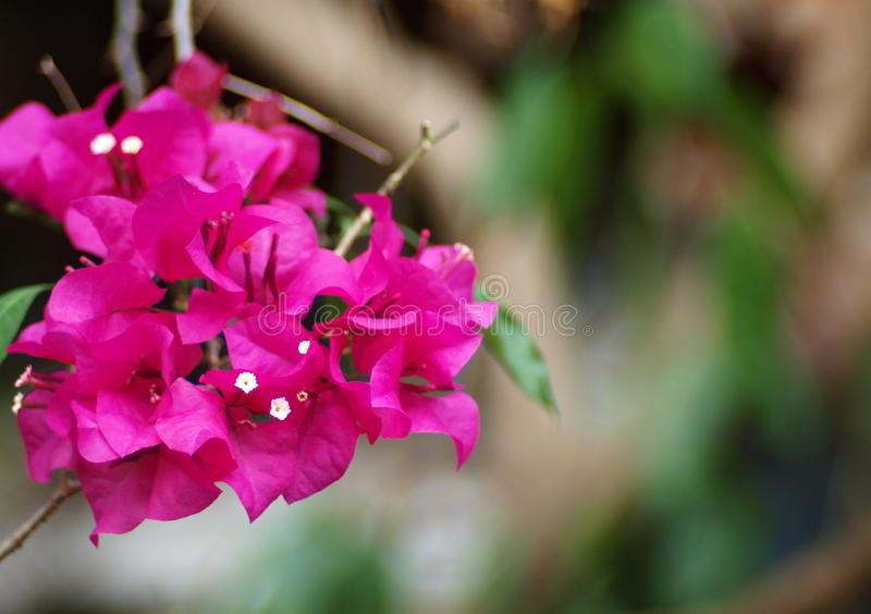 Colorful paper flower, bougainvillea in nature royalty free stock image