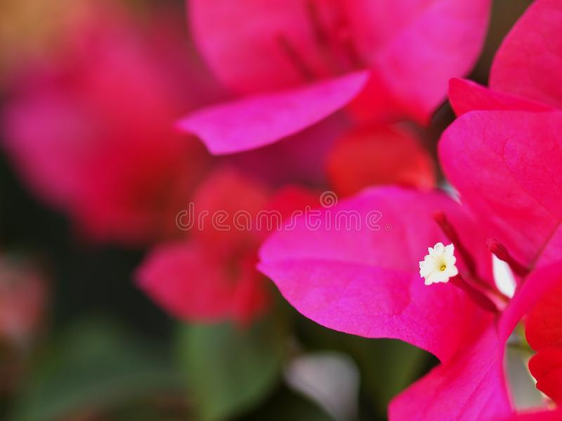 Colorful PAPER FLOWER, bougainvillea white in pink leaves stock photos