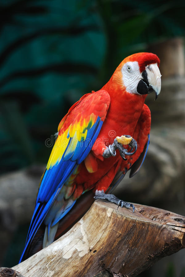 Free Colorful Parrot Royalty Free Stock Image - 14683006