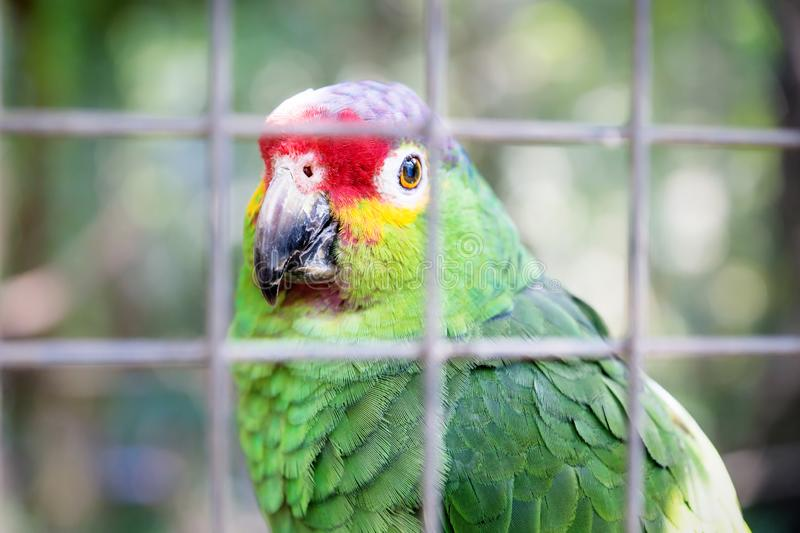 Colorful parrot in a cage at Macaw Mountain Bird Park, Copan Ruinas, Honduras royalty free stock image