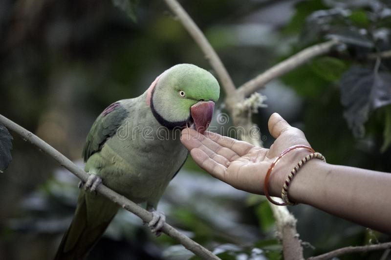 Colorful parrot eating from an Indian woman`s hand in Mysore, India. This cute, colorful parrot is eating out or an Indian woman`s hand at the bird sanctuary in stock photo