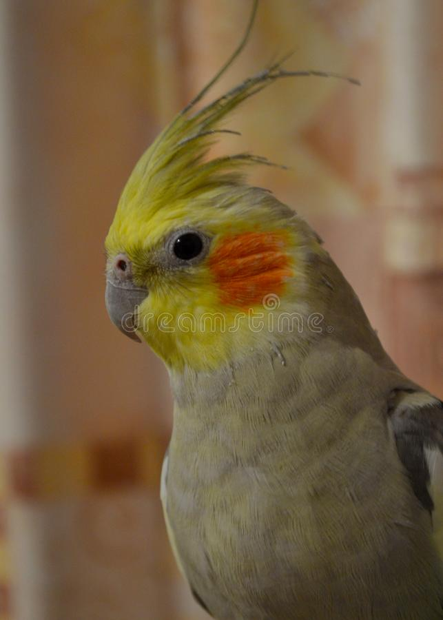 Colorful parrot with head tuft. Cute colorful parrot with yellow head tuft and orange cheeks is sitting on the cage royalty free stock image