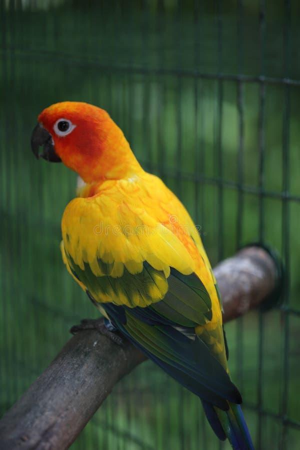 Colorful parrot, Jungle Island, Miami, Florida. Colorful parrot on perch in cage at Jungle Island, Miami, Florida stock photography