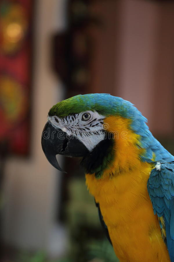 Colorful parrot at Jungle Island, Miami, Florida. Profile of blue and yellow colorful parrot at Jungle Island, Miami, Florida royalty free stock image