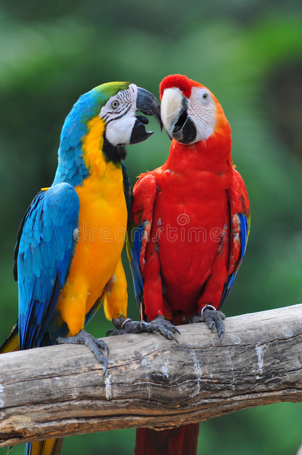 Colorful parrot love bird macaw stock image