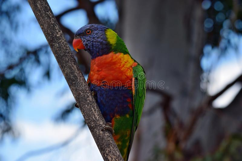A colorful parrot Rainbow Lorikeet, Trochoglossus haematodus. Sitting in a tree with blue sky background stock photography