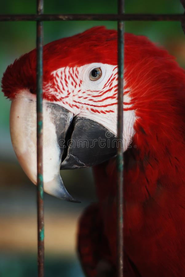 Colorful Parrot - Red Blue Orange Macaw at the Zoo over Bars stock photos
