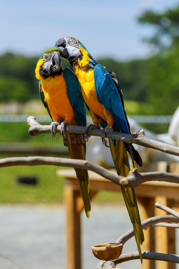 Colorful parrot stand on the tree. Portrait parrot or colorful parrot is looking for other parrots. stock image