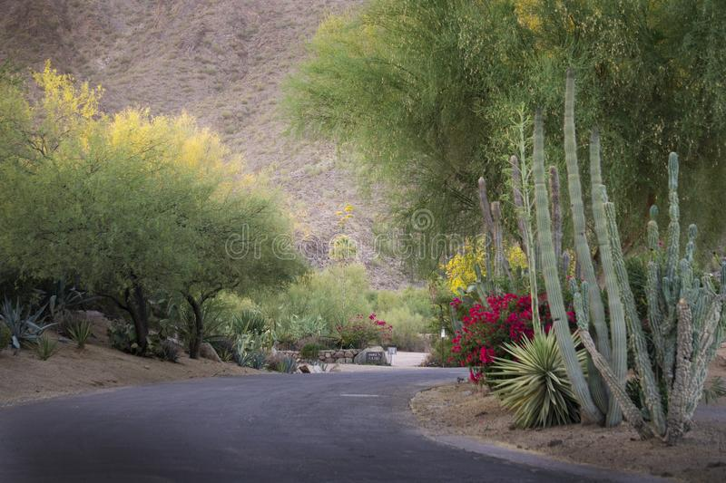 A colorful path with flowers and cactus in Phoenix, Arizona. A lovely pathway at sunset in Phoenix, Arizona with magenta flowering bush and cactus in the summer royalty free stock images