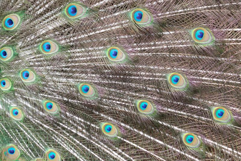 Colorful Pattern of Peacock Feathers. Close up colorful Pattern of Peacock Feathers royalty free stock photos
