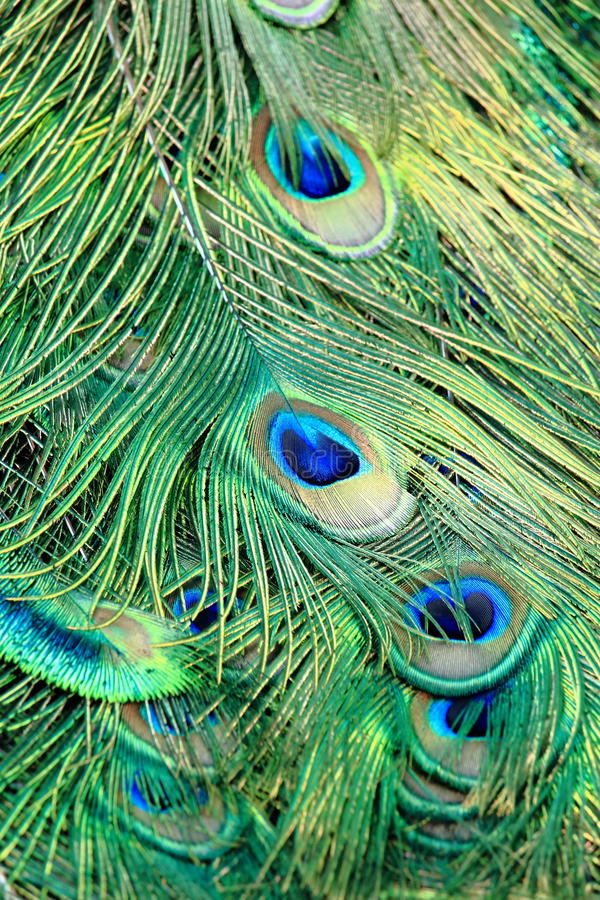 Colorful Pattern of Peacock Feathers. Closed Up Colorful Pattern of Peacock Feathers royalty free stock photos