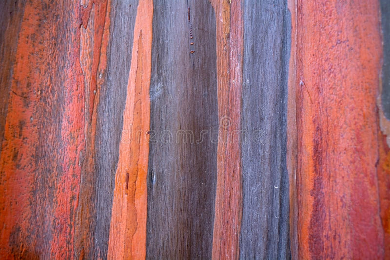 Colorful pattern of rainbow eucalyptus tree bark. As a background royalty free stock images